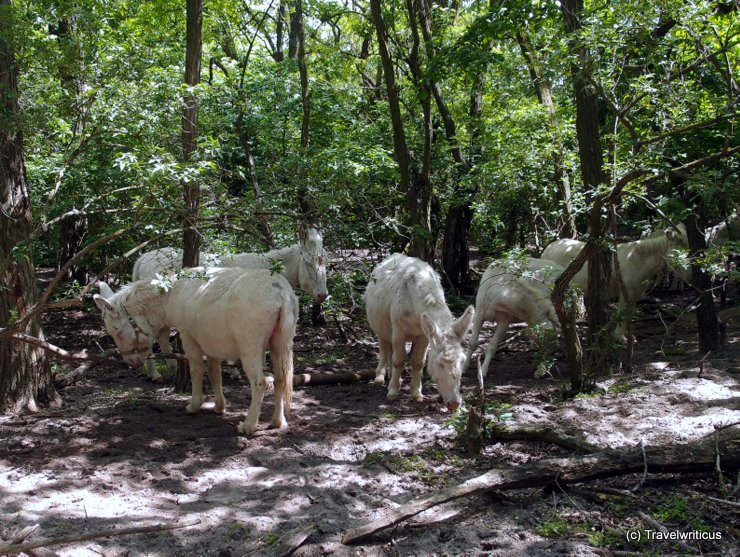 Close encounter with white donkeys in Burgenland, Austria