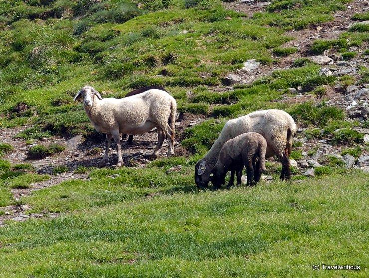 Herd of sheep in Haus, Austria