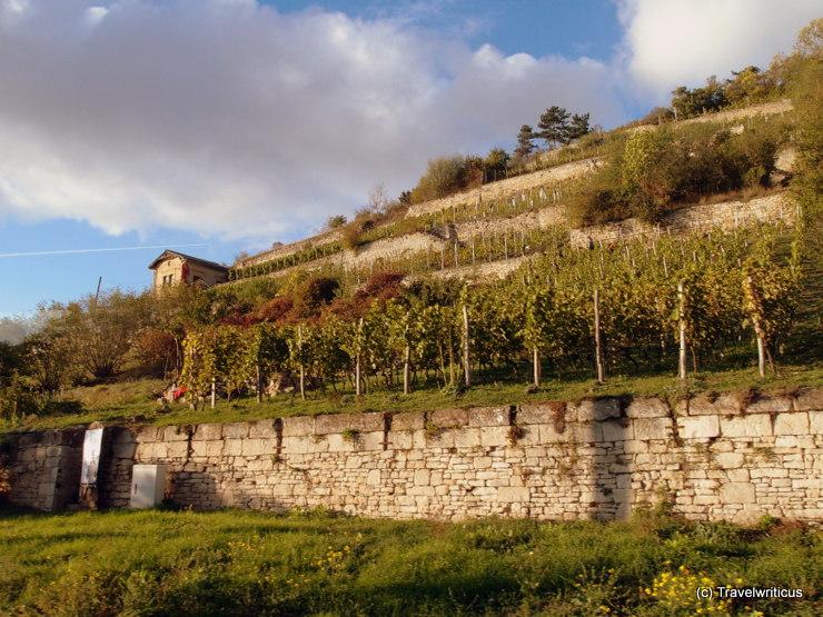 Vineyards in the Saale-Unstrut region of Saxony-Anhalt, Germany