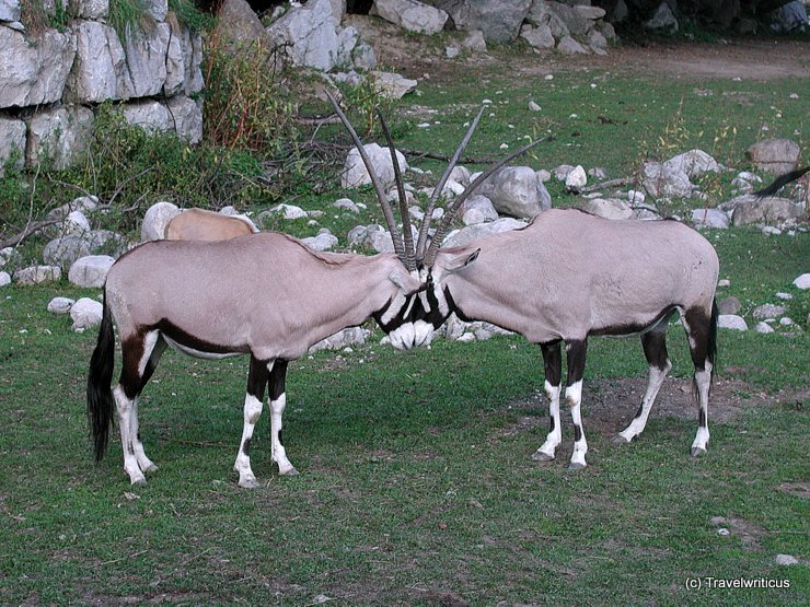 Oryxes in Salzburg, Austria