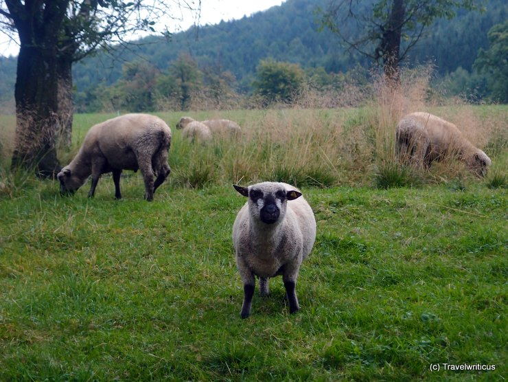 Shropshire sheep in Schlierbach, Austria