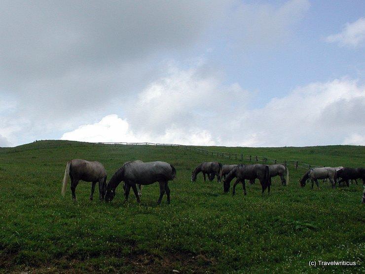 Summer pasture of Lipizzan horses in Austria